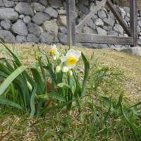 花いっぱい大作戦の会 ~スイセン球根の植え付け~
