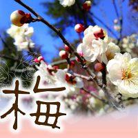 梅の開花状況
