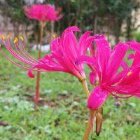 花いっぱい大作戦の会   ~リコリス球根の植え付け~