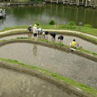 【動画】水景園レポート⑤ 6月 里棚田~レンゲ畑から田植えまで~