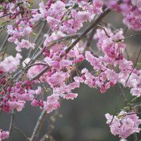 公園の桜について